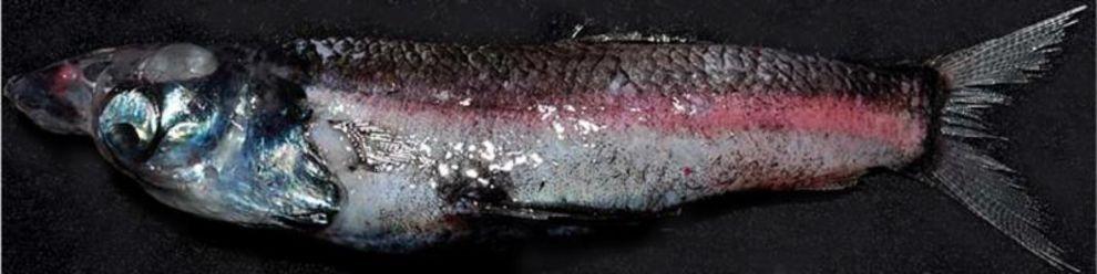 Der Tiefseefisch Rhyncholyalus Natalensis mit großen Augen