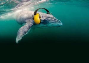 Ein Buckelwal, der Lärmschutzkopfhörer trägt. Unterwasserlärm durch Schallkanonen kann Wale und Delfine stranden lassen und das gesamte marine Ökosystem schädigen