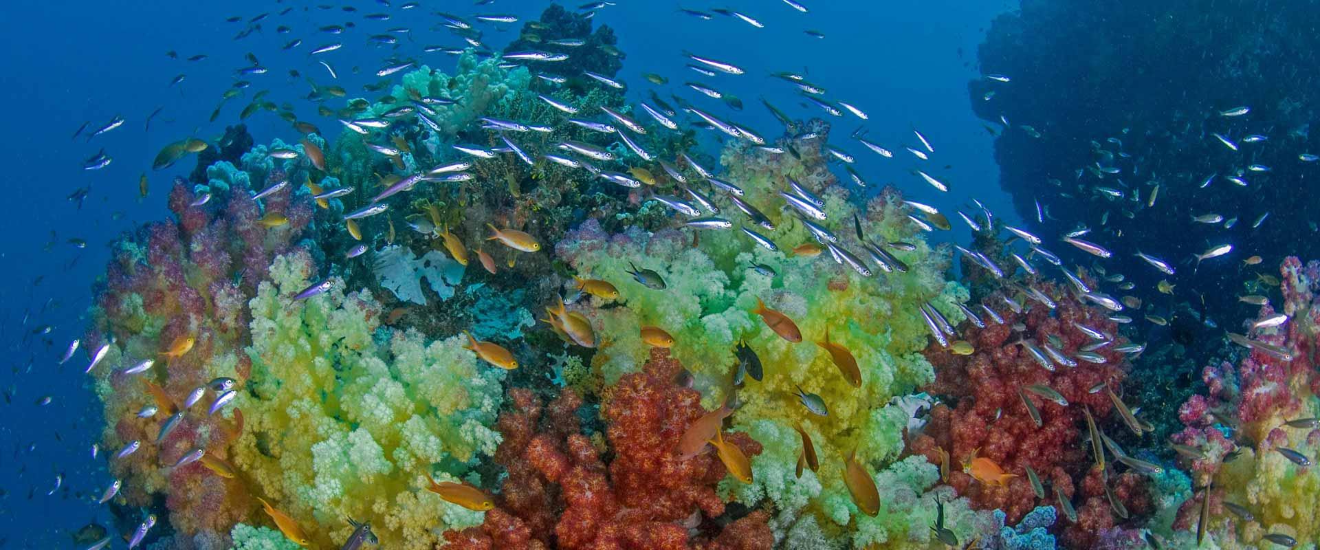 Korallenriff an der Vogelkopf Halbinsel. Viele Sardienen und andere Fische schwimmen durch und über die bunten Korallen