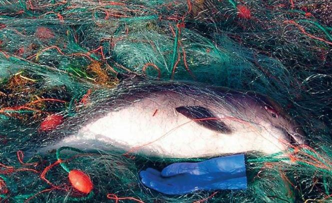 Ein toter Delfin liegt als Beifang verheddert in einem Fischernetz
