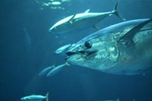 Ein Thunfisch schwimmt nah an der Kamera vorbei. Im Hintergrund sieht man weitere Thunfische eines Schwarms