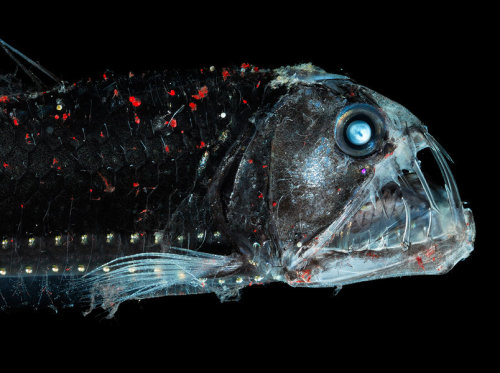 Vipernfisch