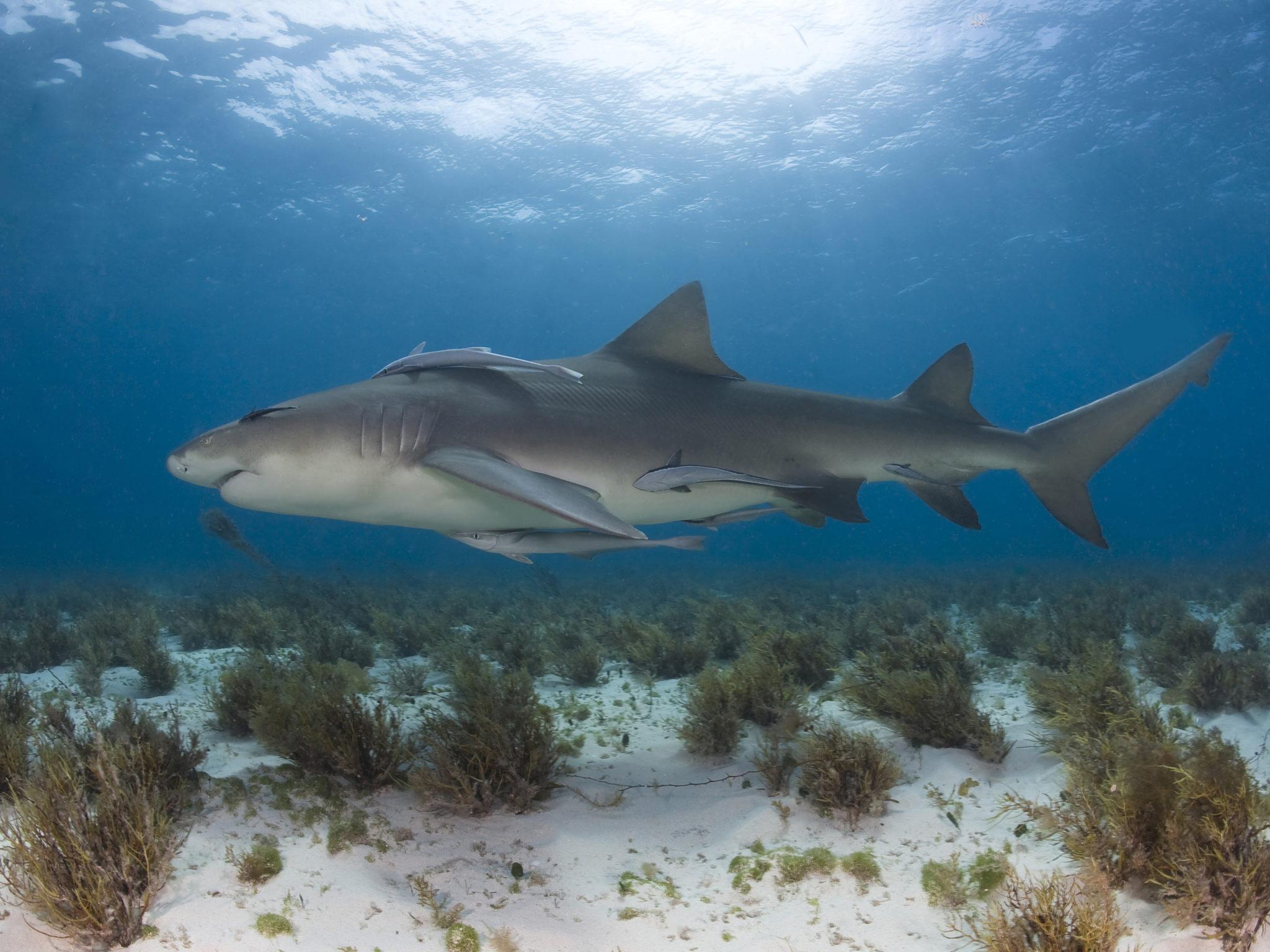 Zitronenhai mit Schiffshalterfische