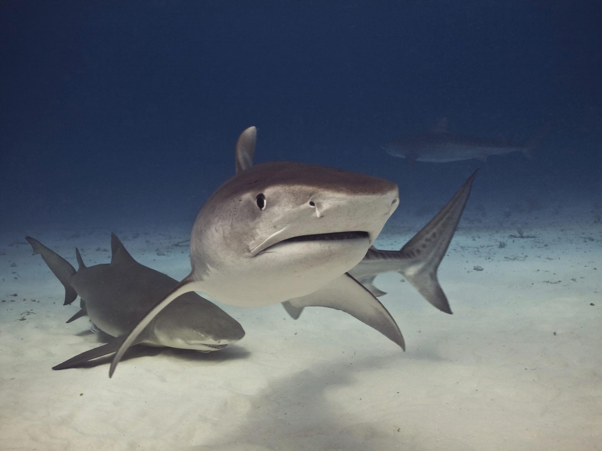 Tigerhai und Zitronenhai