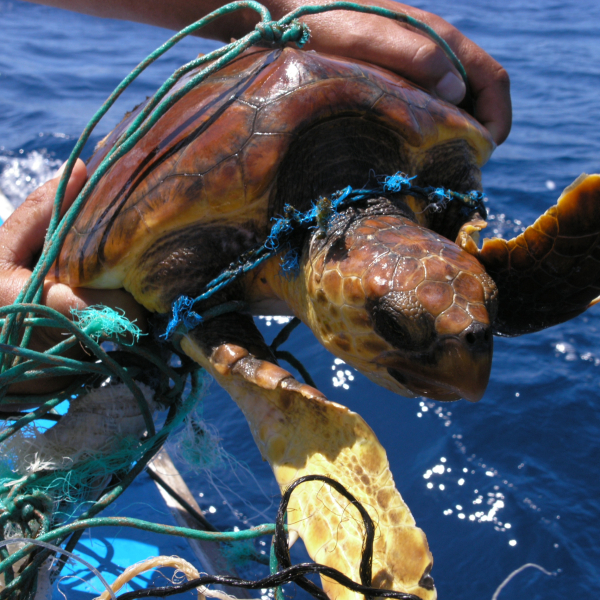 seaturtle trapped in palstic, gomera