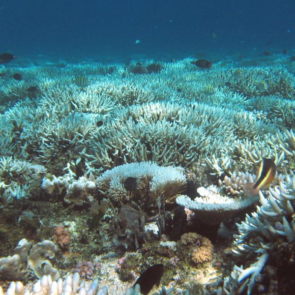Reefflat bleaching in Great Barrier Reef