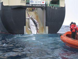 Illegales Treiben: Japanisches Walfangschiff im Südmeer , Foto: Australian Customs and Border Protection Service