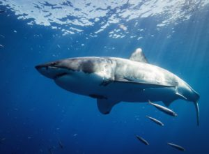 großer weißer Hai mit kleinen Fischen von schräg unten fotografiert