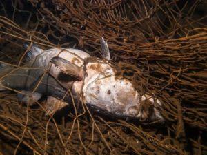 Ein toter Dorsch hängt in einem, voll Algen bewachsenen Netz