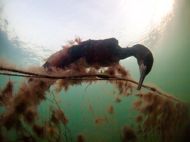 Ein toter Kormoran hängt unter Wasser in einem, von Algen bewachsenen, Netz