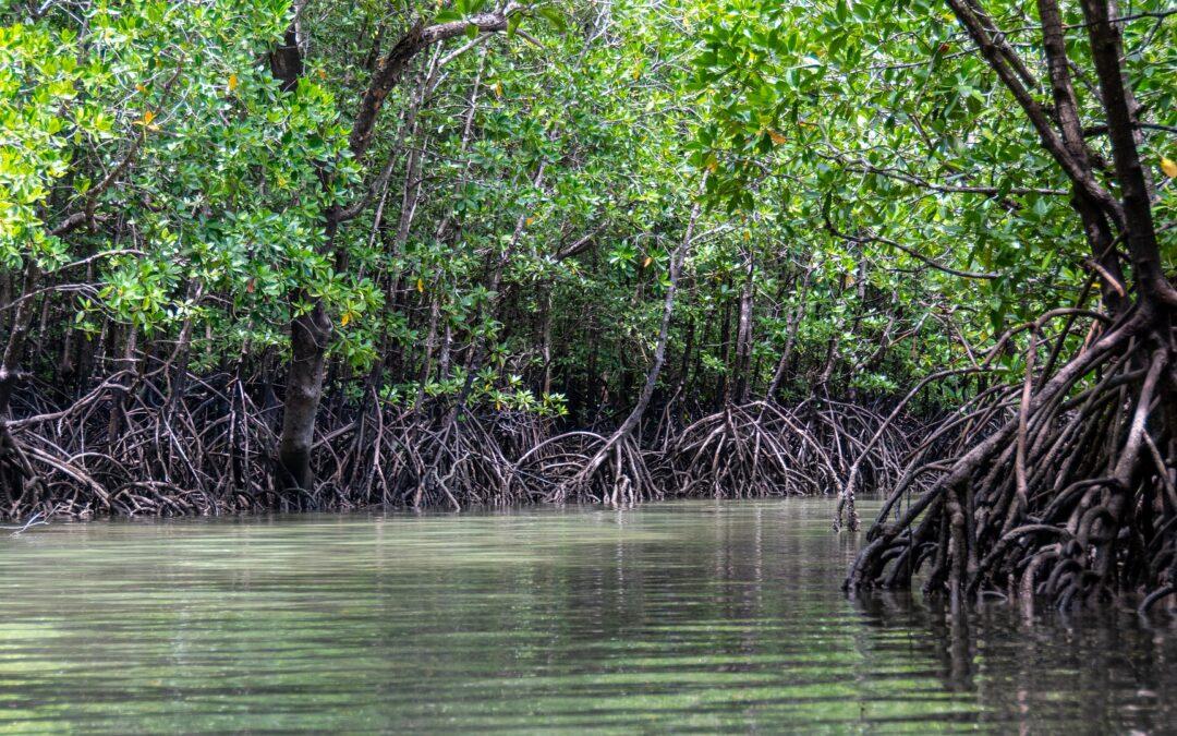 Mangroven_und_ihre_bedeutung_fuer_den_klimaschutz