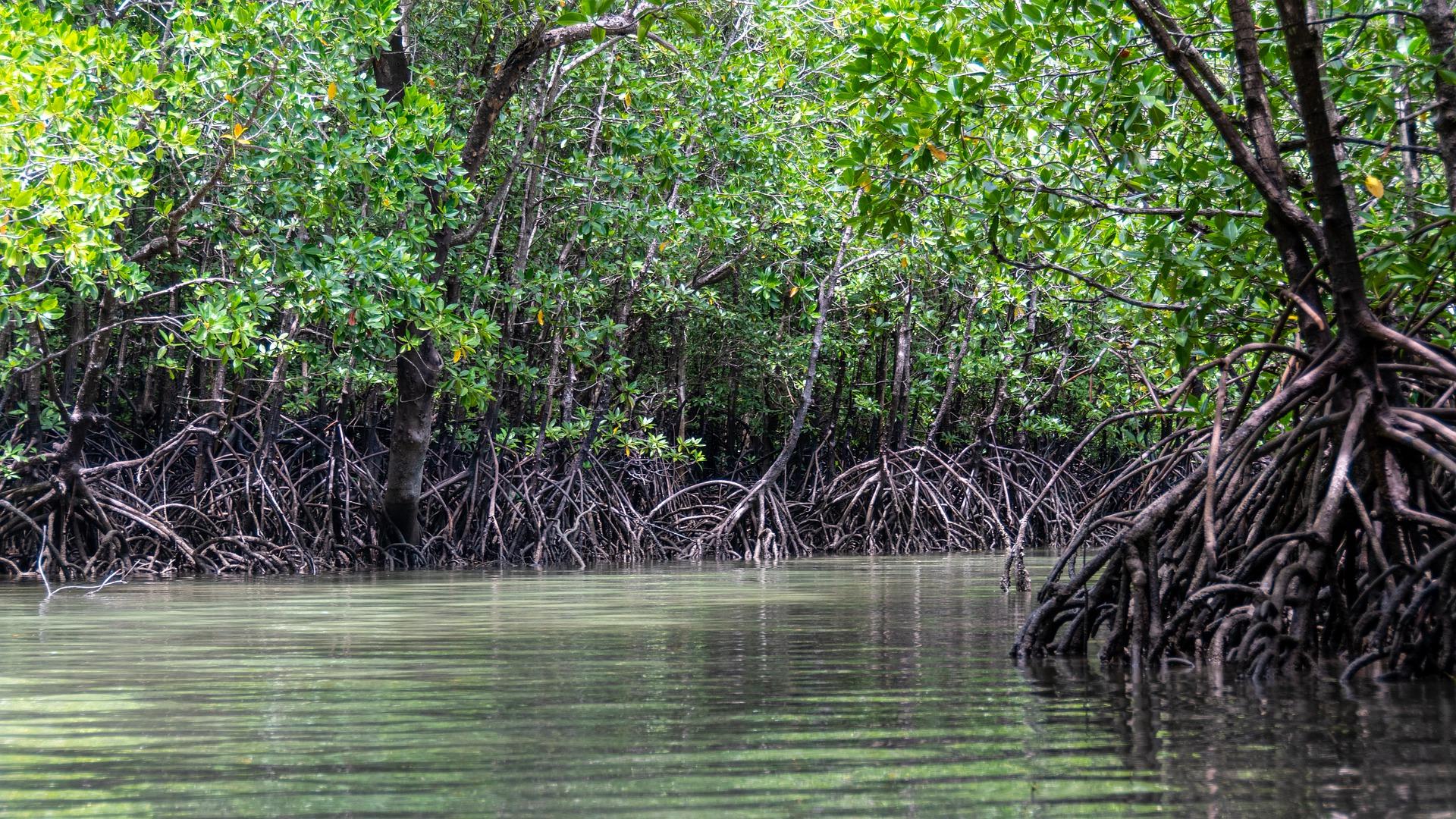Links und rechts des Flusses stehen viele Mangroven