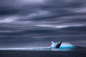 Ein Wal wirft sich mit dem Rücken nach vorne ins Wasser, der Himmel ist dunkel und bewölkt