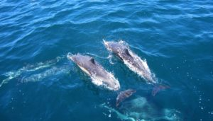 Zwei Delfine schwimmen nebeneinander an der Wasseroberfläche