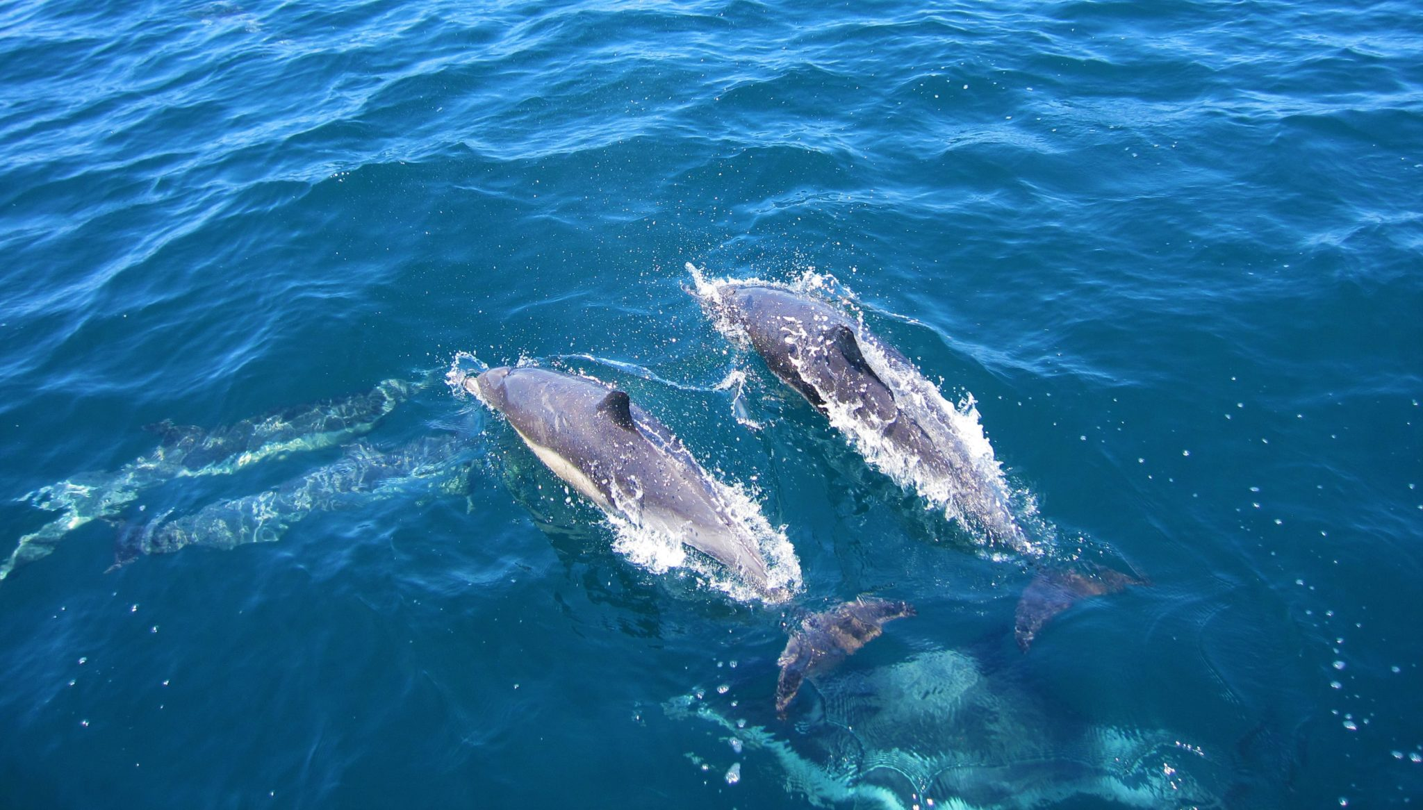 Two dophins are swimming next to each other at the sea surface