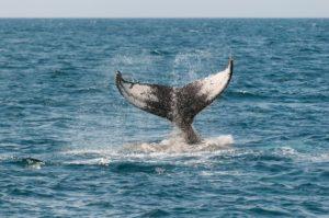 Ozean mit herausschauender Schwanzflosse eines Wals
