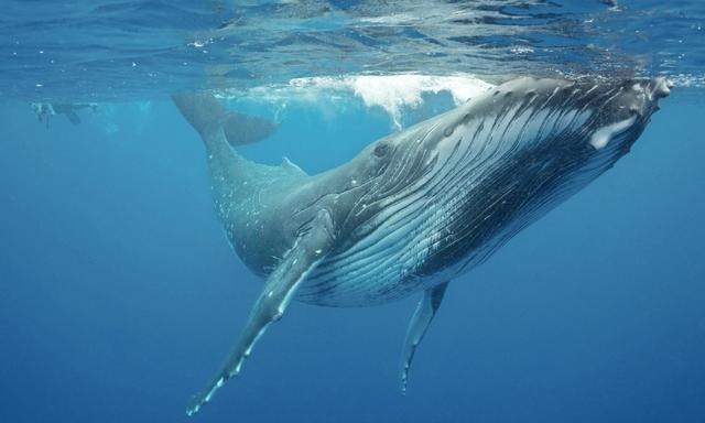 Ein Buckelwal in seiner vollen Größe taucht gerade auf, um Luft zu holen.
