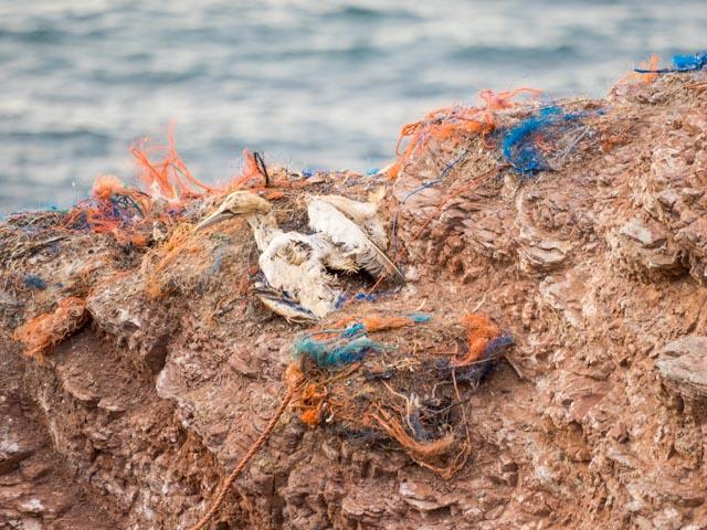 Ein toter Albatros liegt auf einem Fels auf Helgoland, umgeben von Netzen.