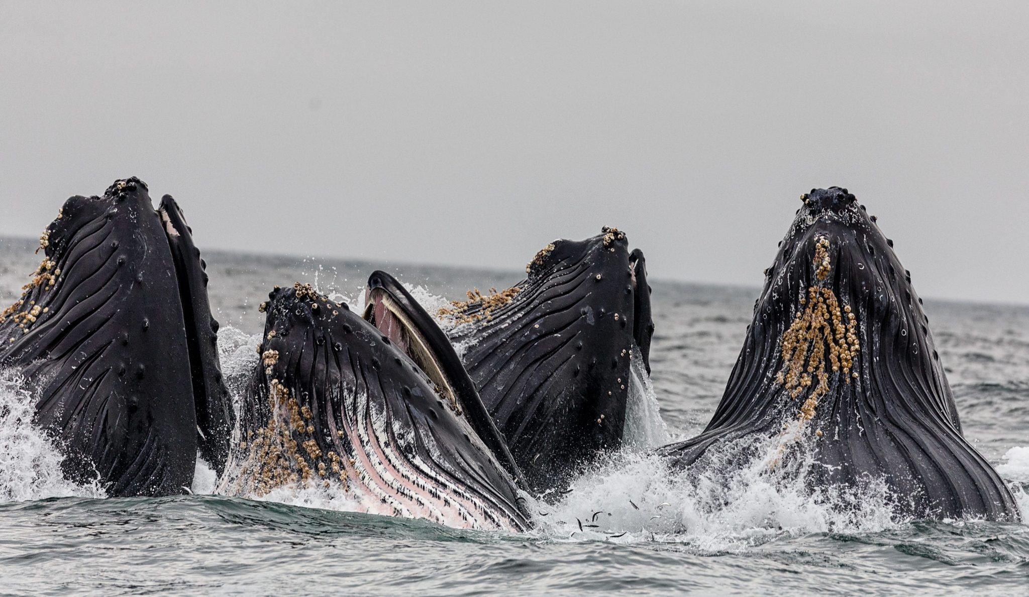 Vier Buckelwale tauchen mit dem Gesicht aus dem Wasser auf