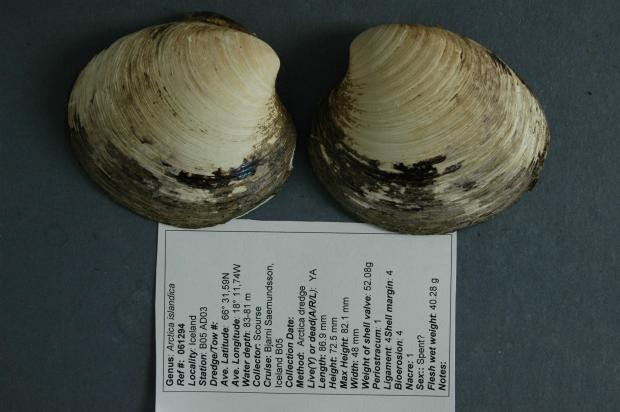 Two Arctica Islandica mussels with a small note giving information about their demography.
