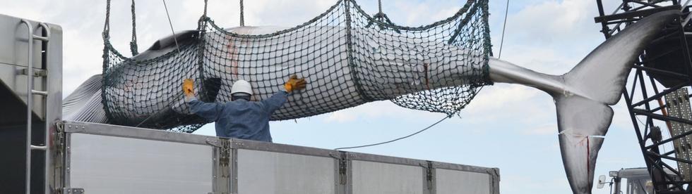 Ein getöteter Wal wird mit einem Netz auf das Fischerboot geladen