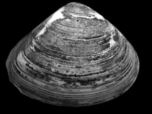 A black white photography of a clam