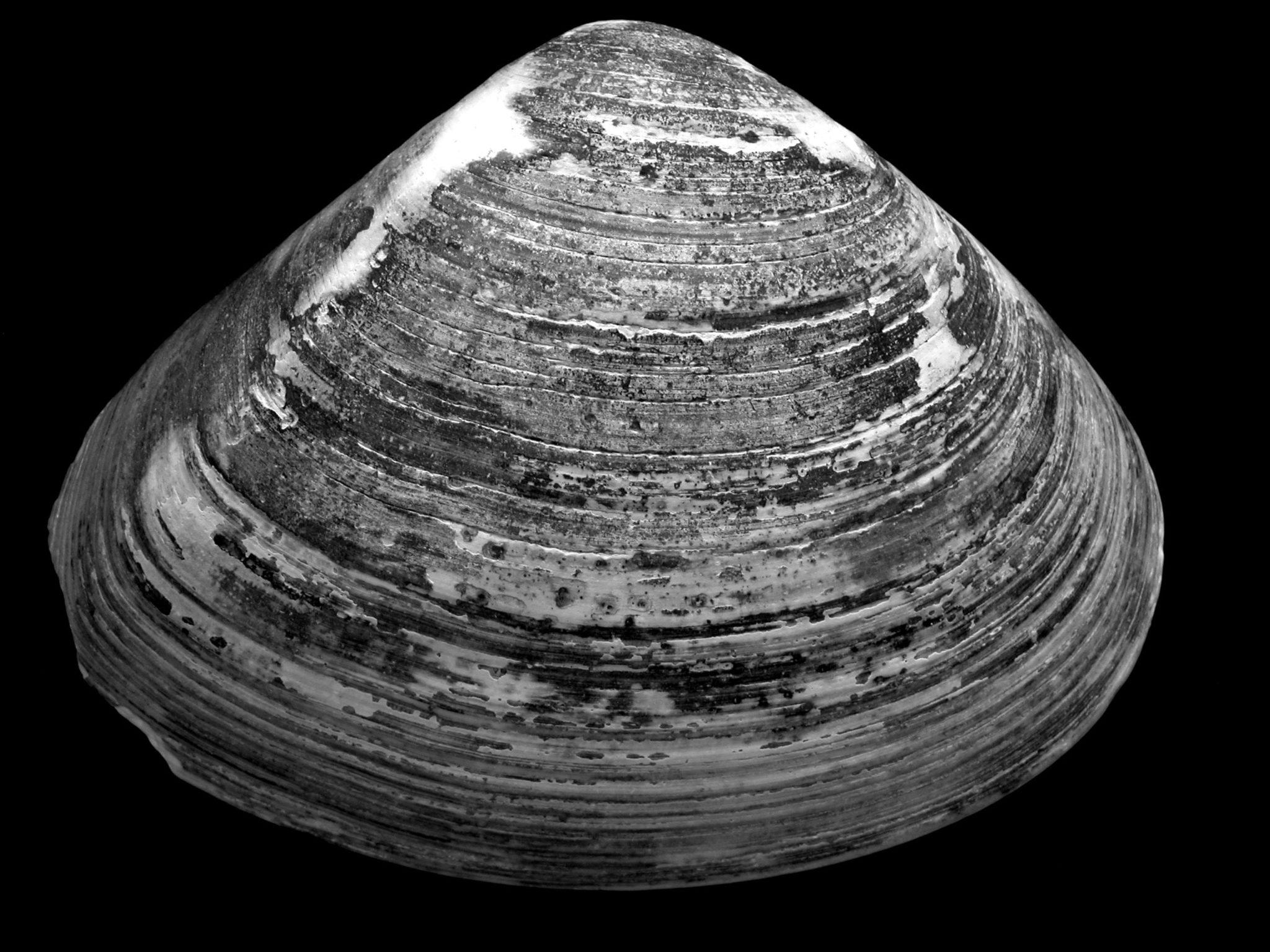 Eine schwarz-weiß Fotographie von einer Muschel