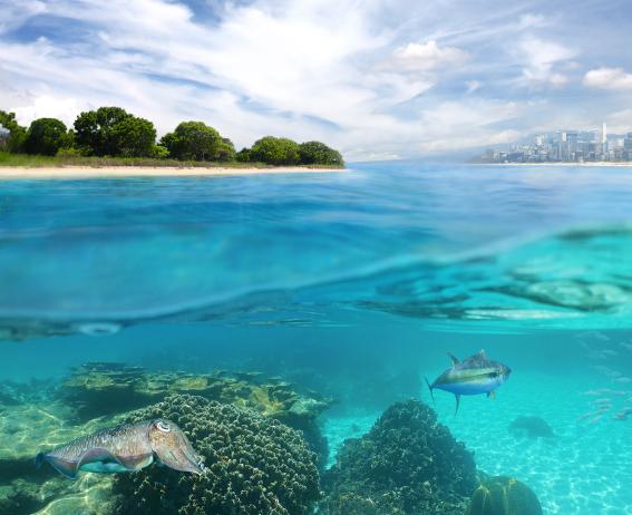 Eine Aufnahme halb unter und halb über Wasser. Unter Wasser ist Teil eines Riffs zu sehen mit einer Sepia im Vordergrund, weiter im Hintergrund ein freie Wasserfläche mit einem größeren Raubfisch und etwas verschwommen ein Fischschwarm. Über Wasser ist eine bewaldete flache Insel zu sehen und weiter im Hintergrund eine Großstadt an der Küste.