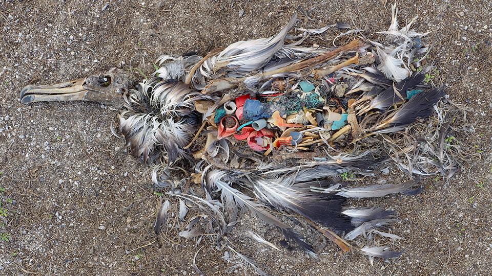 Ein toter aufgeschnittener Albatrossvogel am Strand. Der Mageninhalt zeigt viele bunte Plastikteilchen.