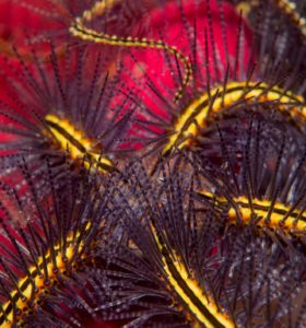 brittle star with yellow armes and purple spikes
