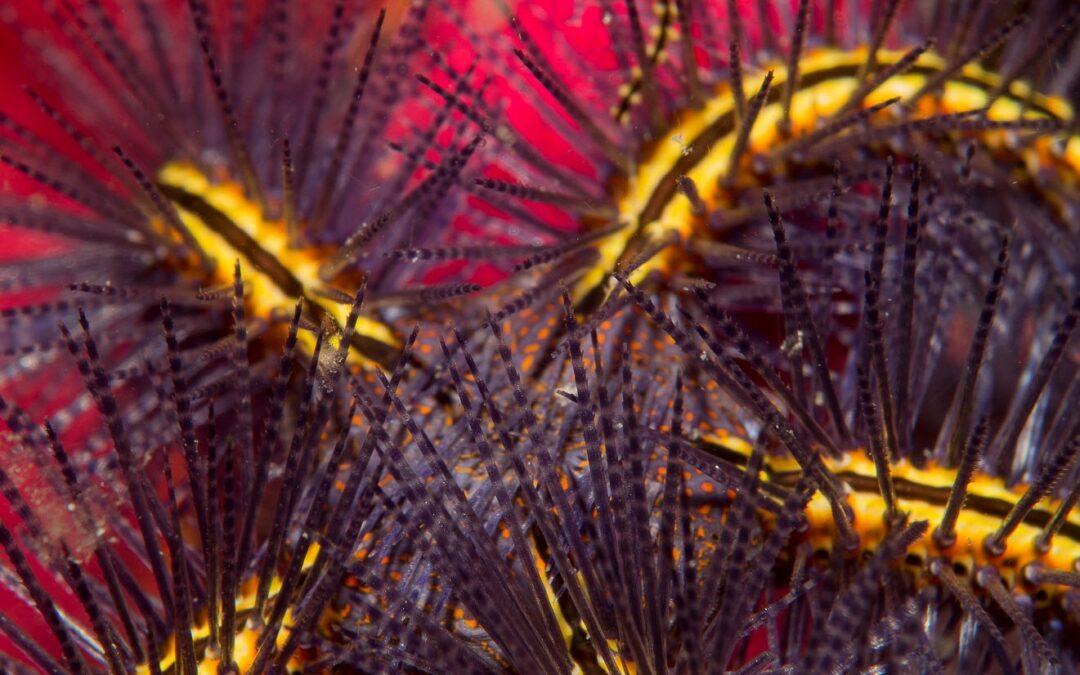brittle_star_pink_wildscreen_exchange_rodriguez