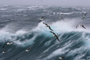 Viele Albatrosse fliegen über ein stürmisches Meer mit hohen Wellen