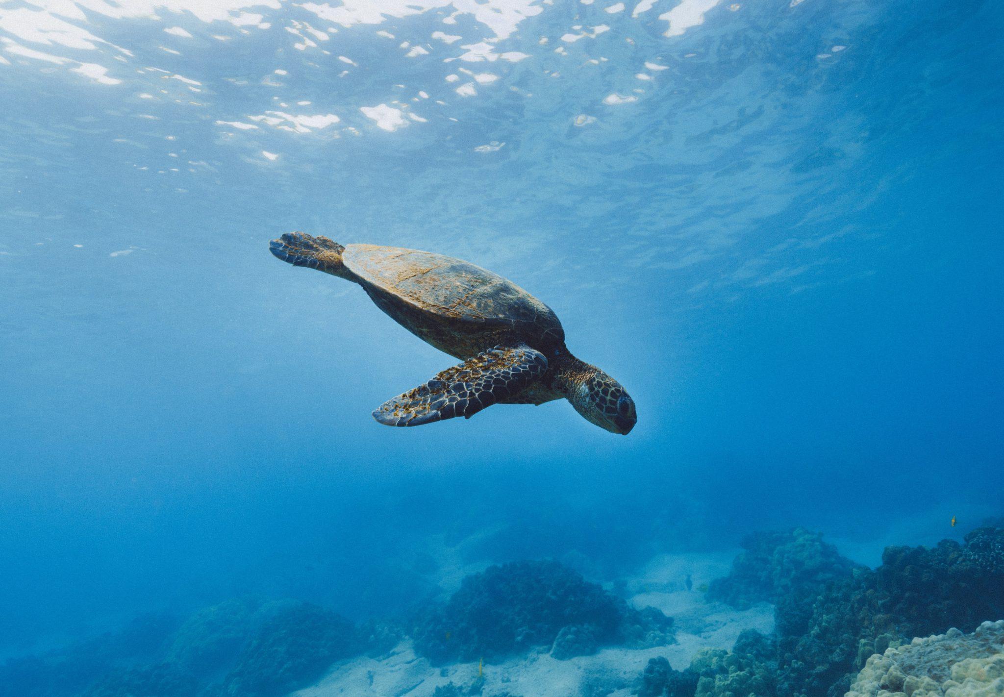 Eine Meeresschildkröte taucht von der Wasseroberfläche nach unten