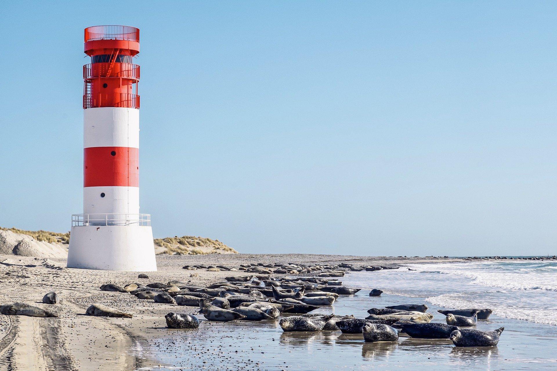Ostseestrand, im Hintergrund Sanddünen mit leichter Begrasung, davor ein rot-weißer Leuchtturm. Am Strand liegen viele Kegelrobben.