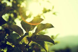 Blick durch grüne Blätter hindurch gegen die Sonne