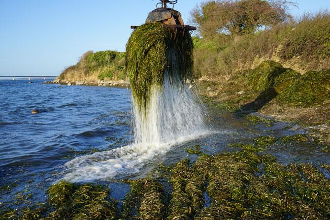 Seegras wird mit einem Bagger aus dem Meer geholt