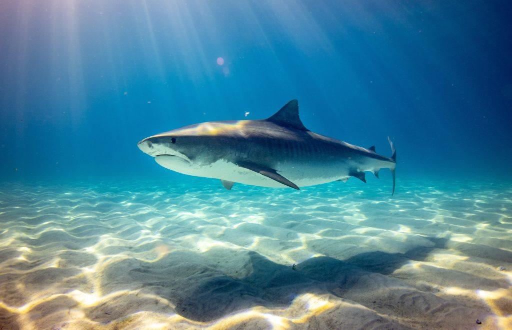Ein Hai schwimmt knapp über dem sandigen Meeresgrund. Sonne scheint von oben herab