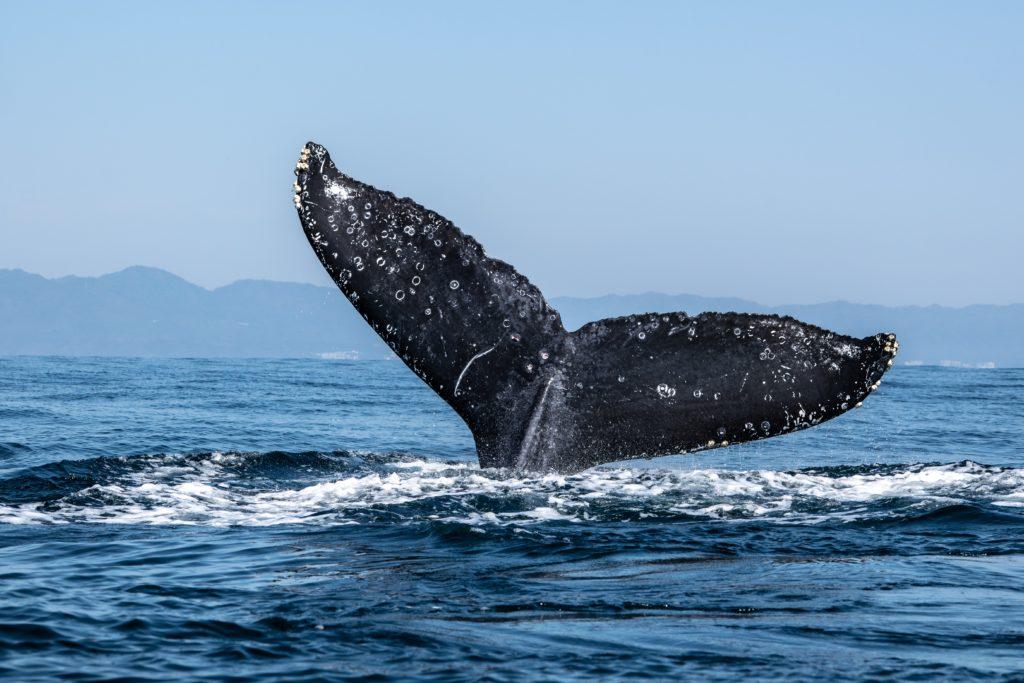 Eine große Walflosse ragt aus dem Meer. Im Hintergrund sind Berge zu sehen