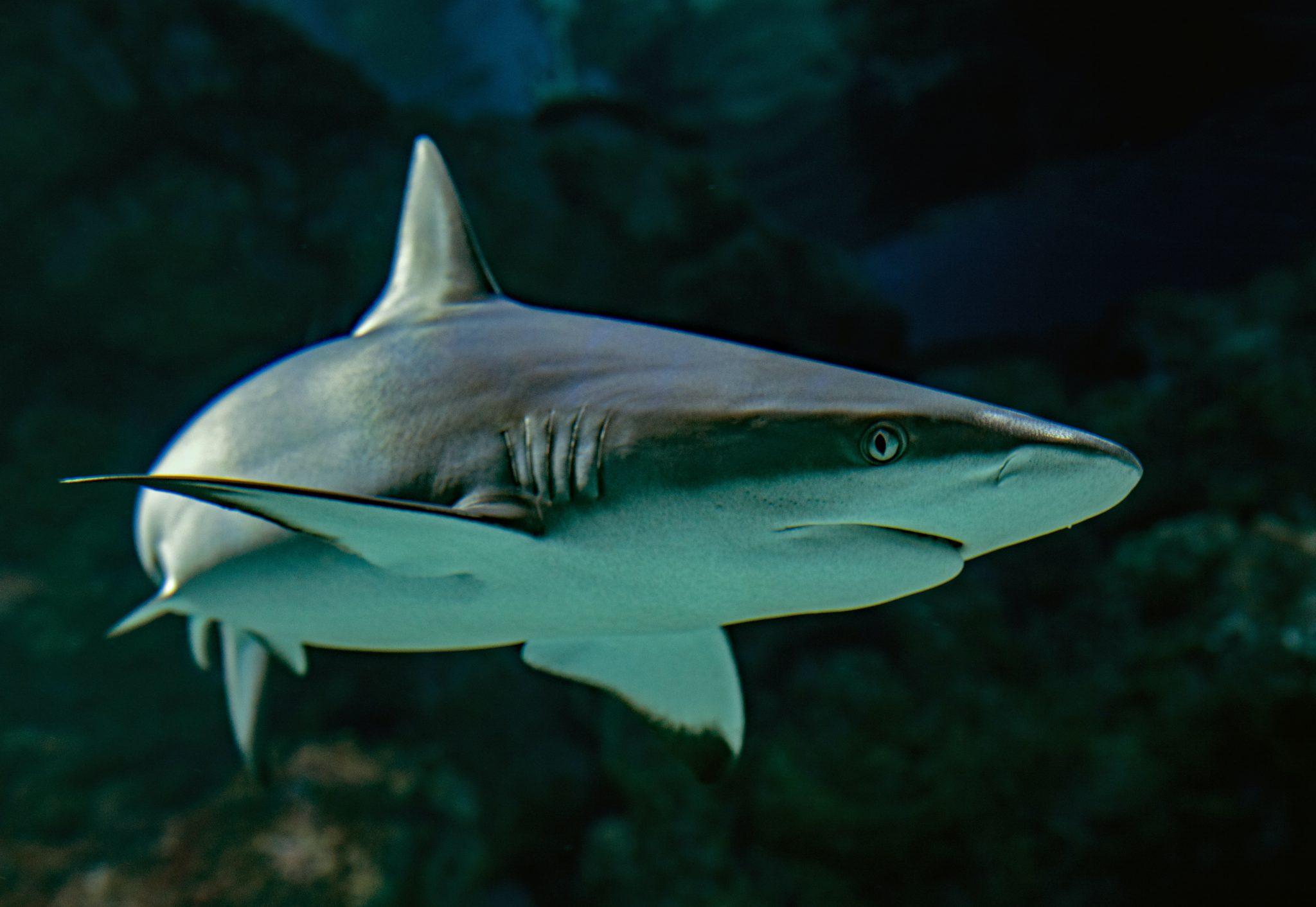 In dunklem Wasser kommt von der Seite ein grauer Hai ins Bild geschwommen.