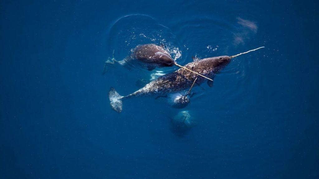 In der Nähe des kanadischen Admiralty Inlet zeigen vier Narwale ihre Stoßzähne an der Wasseroberfläche, die bis zu zweieinhalb Meter lang werden können.