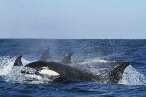 Eine Gruppe von vier Orcas schwimmt im blauen Meer an der Wasseroberfläche