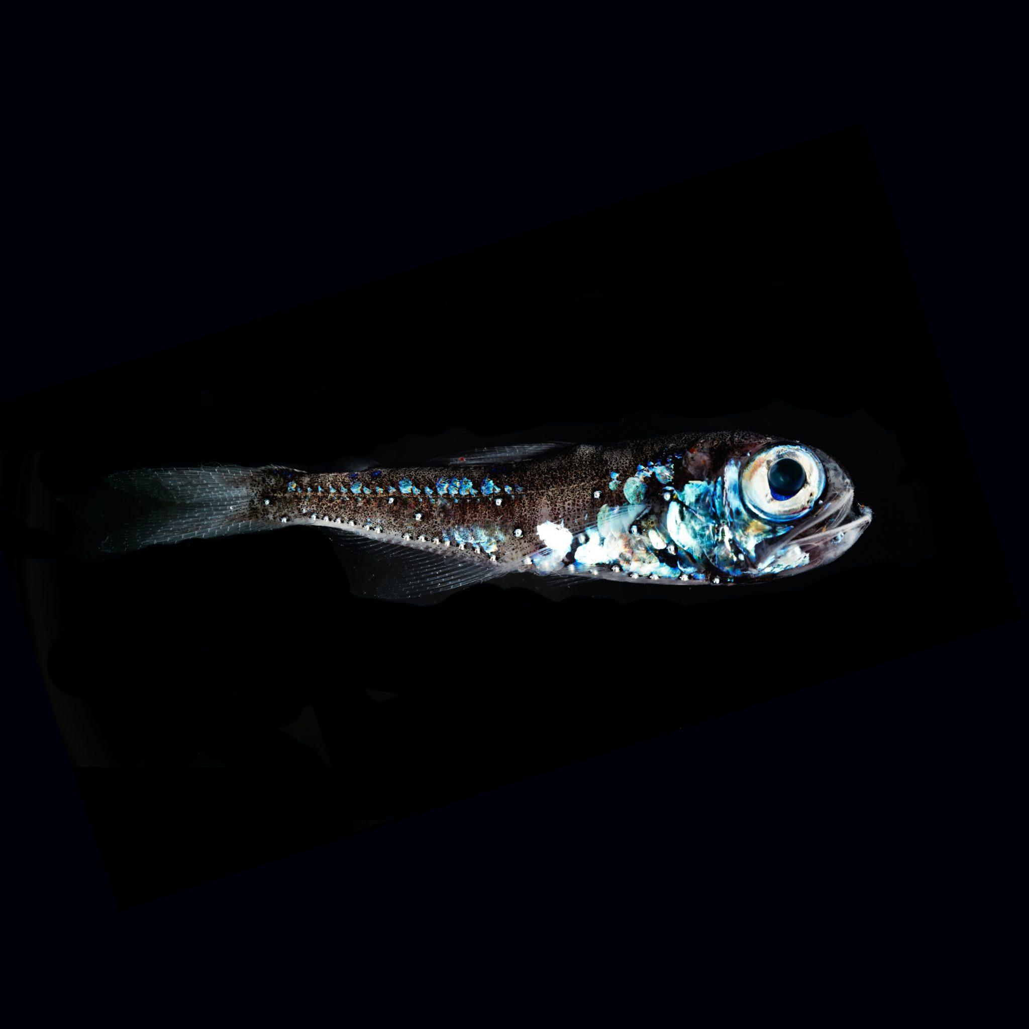 Ein kleiner Laternenfisch schwimmt durch die schwarze Tiefsee