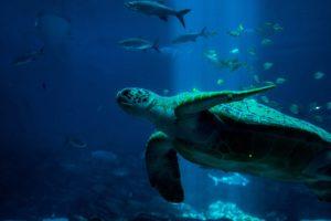 Eine Schildkröte schwimmt von der Seite ins Bild. Im Hintergrund schwimmen viele verschiedene Fische.