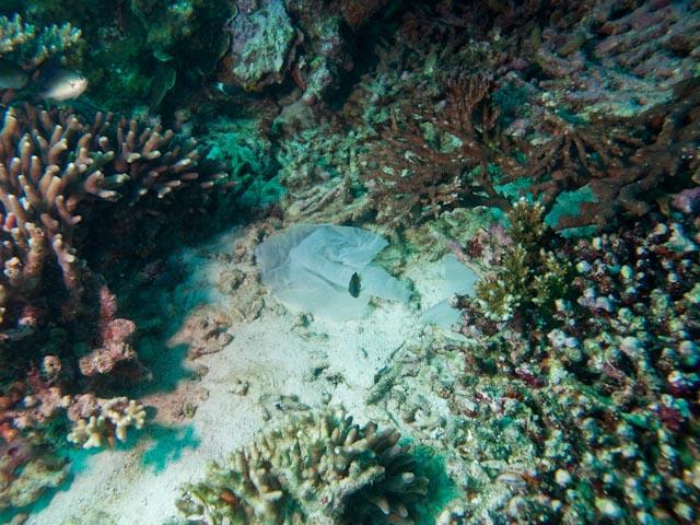 Zwischen mehreren Korallen liegt eine Plastiktüte auf dem Meeresgrund.