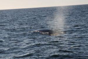 Ein Finnwal taucht an der Wasseroberfläche auf