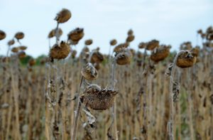 Ein Sonnenblumenfeld mit vertrockneten Sonneblumen